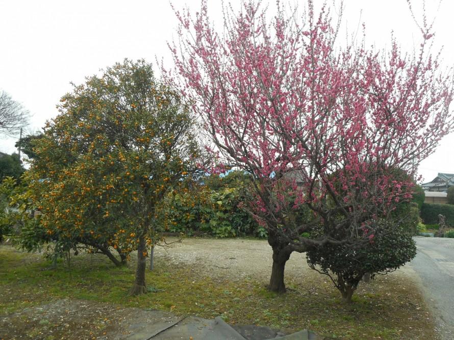 梅とキンカン